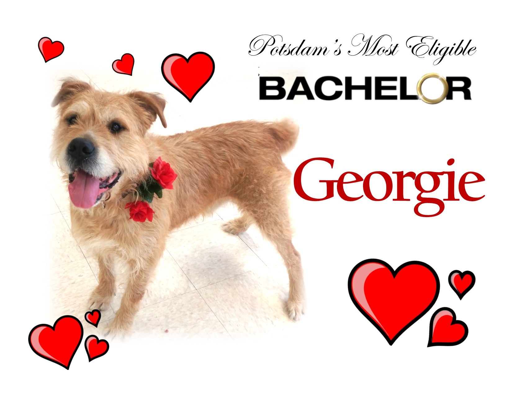 <a href='http://potsdamhumanesociety.org/wp/?p=6628'>George is Fit, Blond, Single and Ready to Mingle! </a>