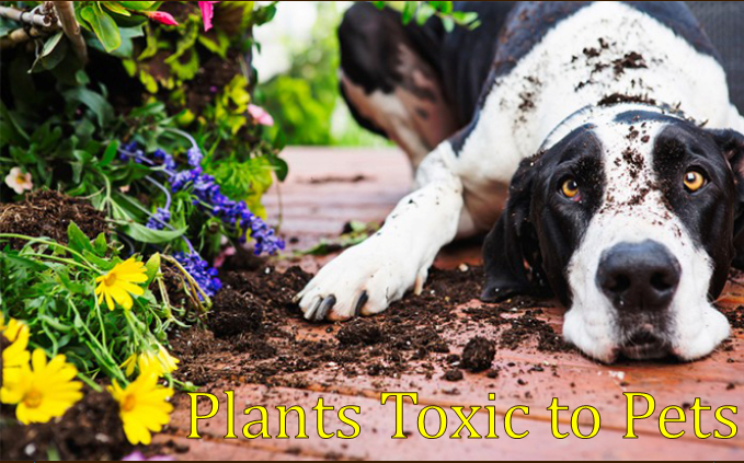 <a href='http://potsdamhumanesociety.org/wp/?p=10921'>Plants Toxic to Pets</a>